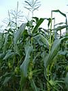 Corn3_2